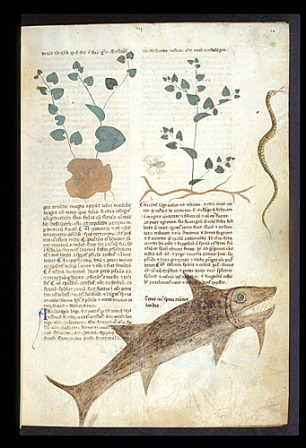 London, BL, MS Egerton 747. Medieval Herbal made in Salerno, c. 1280-1310. This image shows the herb 'birthwort'.