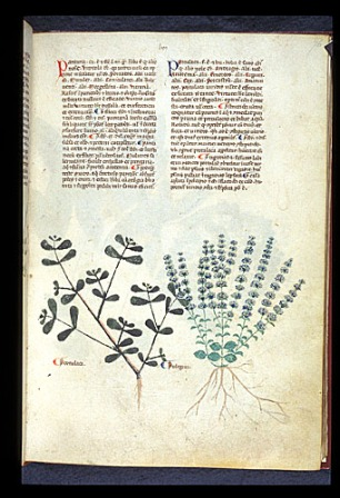 London, BL, MS Egerton 747, f. 76r Medieval Herbal made in Salerno, c. 1280-1310. Purslane and Pennyroyal.