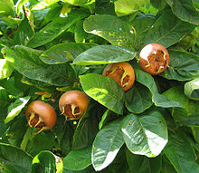 220px-Medlar_pomes_and_leaves